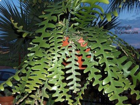 Привет Стране! Продолжаю публикацию записей о цветущих кактусах из моей коллекции. Начало здесь - http://stranamasterov.ru/node/1002926 и здесь http://stranamasterov.ru/node/1003089. Как бонус расскажу некоторые интересные факты о кактусах. Начинаю. Это Айлостера гелиоза. фото 17