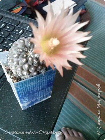 Привет Стране! Продолжаю публикацию записей о цветущих кактусах из моей коллекции. Начало здесь - http://stranamasterov.ru/node/1002926 и здесь http://stranamasterov.ru/node/1003089. Как бонус расскажу некоторые интересные факты о кактусах. Начинаю. Это Айлостера гелиоза. фото 6