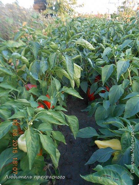 """Всем здравствуйте!Вот уже новой огородний сезон начинается,а я еще не отчиталась как """"вела себя """"рассада выращенная в органайзерах http://stranamasterov.ru/node/901308 . фото 9"""