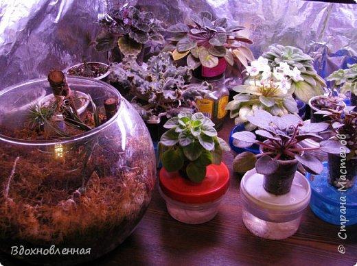 Расцвела моя фитония. Очень ждала ее цветения... фото 49