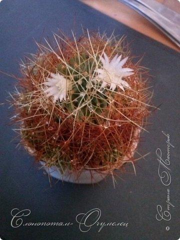 """Продолжаю рассказ о моих любимых """"зелёных ёжиках"""" - о кактусах. Предыдущие части здесь - http://stranamasterov.ru/node/1002926, http://stranamasterov.ru/node/1003089, http://stranamasterov.ru/node/1003449. Вначале показываю кактусы с сиреневыми, красными, фиолетовыми цветками. Названия даю на латыни. Turbinicarpus viereckii. фото 19"""