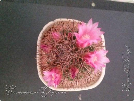 """Продолжаю рассказ о моих любимых """"зелёных ёжиках"""" - о кактусах. Предыдущие части здесь - http://stranamasterov.ru/node/1002926, http://stranamasterov.ru/node/1003089, http://stranamasterov.ru/node/1003449. Вначале показываю кактусы с сиреневыми, красными, фиолетовыми цветками. Названия даю на латыни. Turbinicarpus viereckii. фото 6"""