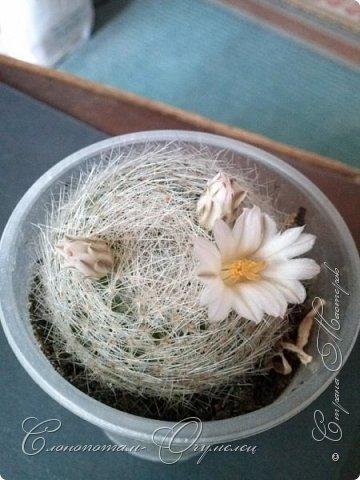 """Продолжаю рассказ о моих любимых """"зелёных ёжиках"""" - о кактусах. Предыдущие части здесь - http://stranamasterov.ru/node/1002926, http://stranamasterov.ru/node/1003089, http://stranamasterov.ru/node/1003449. Вначале показываю кактусы с сиреневыми, красными, фиолетовыми цветками. Названия даю на латыни. Turbinicarpus viereckii. фото 20"""
