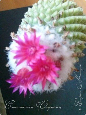 """Продолжаю рассказ о моих любимых """"зелёных ёжиках"""" - о кактусах. Предыдущие части здесь - http://stranamasterov.ru/node/1002926, http://stranamasterov.ru/node/1003089, http://stranamasterov.ru/node/1003449. Вначале показываю кактусы с сиреневыми, красными, фиолетовыми цветками. Названия даю на латыни. Turbinicarpus viereckii. фото 11"""