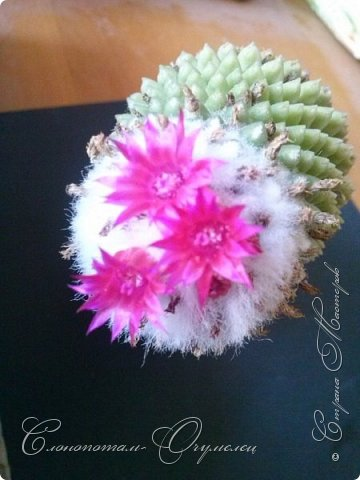 """Продолжаю рассказ о моих любимых """"зелёных ёжиках"""" - о кактусах. Предыдущие части здесь - http://stranamasterov.ru/node/1002926, http://stranamasterov.ru/node/1003089, http://stranamasterov.ru/node/1003449. Вначале показываю кактусы с сиреневыми, красными, фиолетовыми цветками. Названия даю на латыни. Turbinicarpus viereckii. фото 12"""