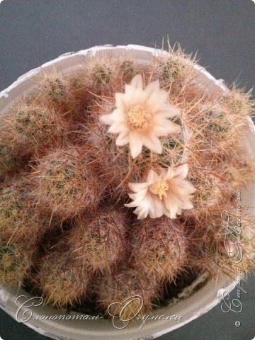 """Продолжаю рассказ о моих любимых """"зелёных ёжиках"""" - о кактусах. Предыдущие части здесь - http://stranamasterov.ru/node/1002926, http://stranamasterov.ru/node/1003089, http://stranamasterov.ru/node/1003449. Вначале показываю кактусы с сиреневыми, красными, фиолетовыми цветками. Названия даю на латыни. Turbinicarpus viereckii. фото 25"""