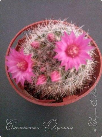 """Продолжаю рассказ о моих любимых """"зелёных ёжиках"""" - о кактусах. Предыдущие части здесь - http://stranamasterov.ru/node/1002926, http://stranamasterov.ru/node/1003089, http://stranamasterov.ru/node/1003449. Вначале показываю кактусы с сиреневыми, красными, фиолетовыми цветками. Названия даю на латыни. Turbinicarpus viereckii. фото 14"""