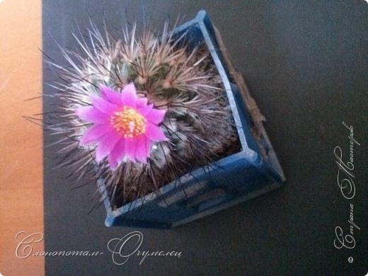 """Продолжаю рассказ о моих любимых """"зелёных ёжиках"""" - о кактусах. Предыдущие части здесь - http://stranamasterov.ru/node/1002926, http://stranamasterov.ru/node/1003089, http://stranamasterov.ru/node/1003449. Вначале показываю кактусы с сиреневыми, красными, фиолетовыми цветками. Названия даю на латыни. Turbinicarpus viereckii. фото 1"""