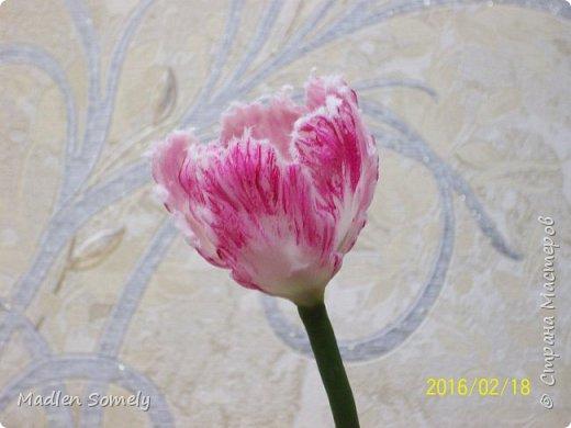 Попугайный тюльпан фото 3