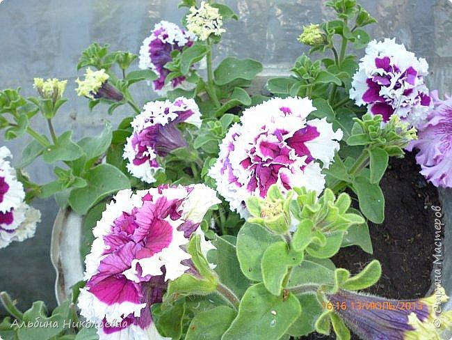 Здравствуйте дорогие мастера и мастерицы! Сегодня я продолжу рассказ о петунии и других видах растений, посеянных в начале февраля. Итак продолжаем рассказ о дальнейшем уходе за этом красивом цветке. фото 1