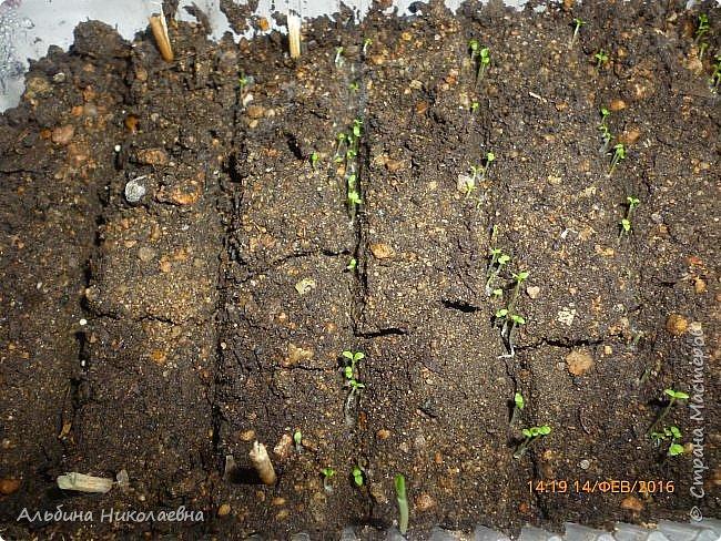 Здравствуйте дорогие мастера и мастерицы! Сегодня я продолжу рассказ о петунии и других видах растений, посеянных в начале февраля. Итак продолжаем рассказ о дальнейшем уходе за этом красивом цветке. фото 7