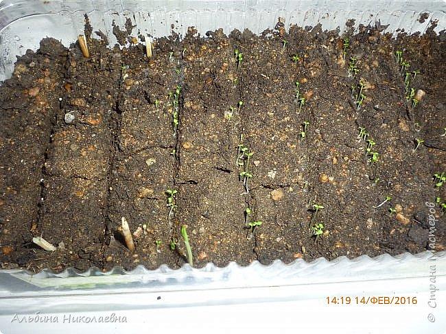 Здравствуйте дорогие мастера и мастерицы! Сегодня я продолжу рассказ о петунии и других видах растений, посеянных в начале февраля. Итак продолжаем рассказ о дальнейшем уходе за этом красивом цветке. фото 8