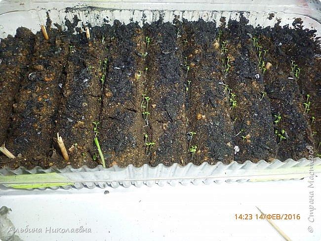 Здравствуйте дорогие мастера и мастерицы! Сегодня я продолжу рассказ о петунии и других видах растений, посеянных в начале февраля. Итак продолжаем рассказ о дальнейшем уходе за этом красивом цветке. фото 10