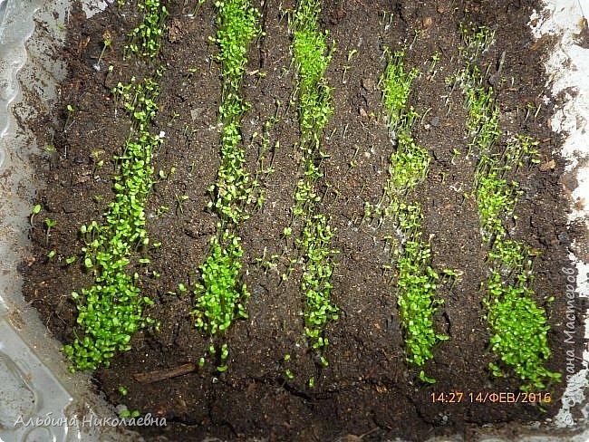 Здравствуйте дорогие мастера и мастерицы! Сегодня я продолжу рассказ о петунии и других видах растений, посеянных в начале февраля. Итак продолжаем рассказ о дальнейшем уходе за этом красивом цветке. фото 12