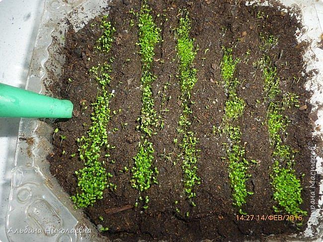 Здравствуйте дорогие мастера и мастерицы! Сегодня я продолжу рассказ о петунии и других видах растений, посеянных в начале февраля. Итак продолжаем рассказ о дальнейшем уходе за этом красивом цветке. фото 13