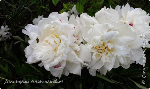 """Цветы """"Лето 2015"""" фото 12"""