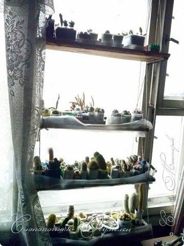 """Доброго времени суток всем заглянувшим! Начинаю серию фоторепортажей """"В прямом эфире"""". Постараюсь показать свою коллекцию кактусов, рассказать об уходе за ними, привести интересные факты """"из жизни кактусов"""". Присаживайтесь перед экраном. Приятного просмотра. фото 3"""