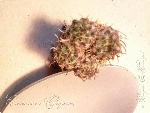 """Доброго времени суток всем заглянувшим! Начинаю серию фоторепортажей """"В прямом эфире"""". Постараюсь показать свою коллекцию кактусов, рассказать об уходе за ними, привести интересные факты """"из жизни кактусов"""". Присаживайтесь перед экраном. Приятного просмотра. фото 24"""