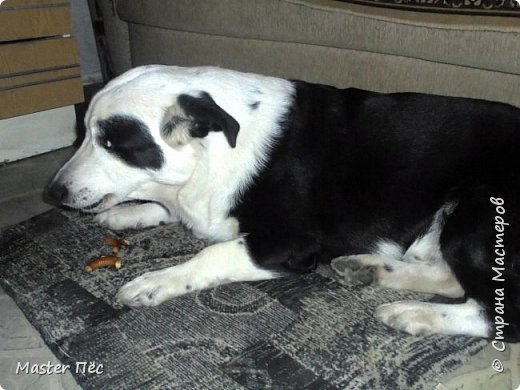Всем привет! И снова делюсь с Вами фоторепортажем про моих собак Макса и Мишу. За беспорядок в квартире извиняюсь, идёт ремонт. Это Макс. Хочет играть. фото 2