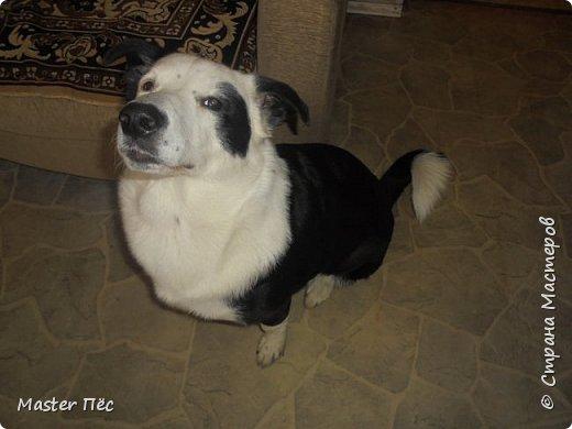 Всем привет! И снова делюсь с Вами фоторепортажем про моих собак Макса и Мишу. За беспорядок в квартире извиняюсь, идёт ремонт. Это Макс. Хочет играть. фото 3