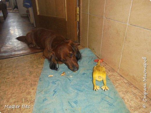 Всем привет! И снова делюсь с Вами фоторепортажем про моих собак Макса и Мишу. За беспорядок в квартире извиняюсь, идёт ремонт. Это Макс. Хочет играть. фото 4