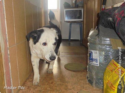 Всем привет! И снова делюсь с Вами фоторепортажем про моих собак Макса и Мишу. За беспорядок в квартире извиняюсь, идёт ремонт. Это Макс. Хочет играть. фото 5