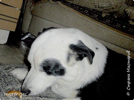 Всем привет! И снова делюсь с Вами фоторепортажем про моих собак Макса и Мишу. За беспорядок в квартире извиняюсь, идёт ремонт. Это Макс. Хочет играть. фото 6
