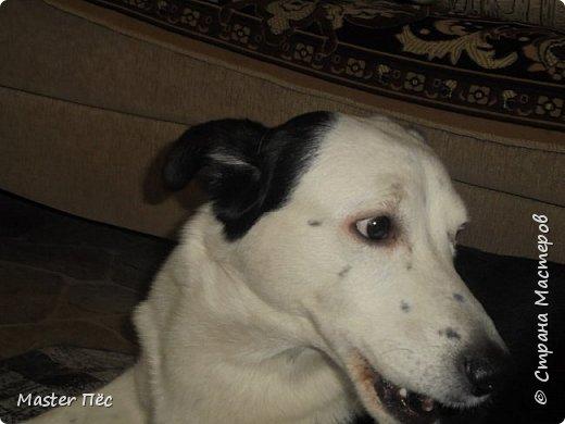 Всем привет! И снова делюсь с Вами фоторепортажем про моих собак Макса и Мишу. За беспорядок в квартире извиняюсь, идёт ремонт. Это Макс. Хочет играть. фото 7