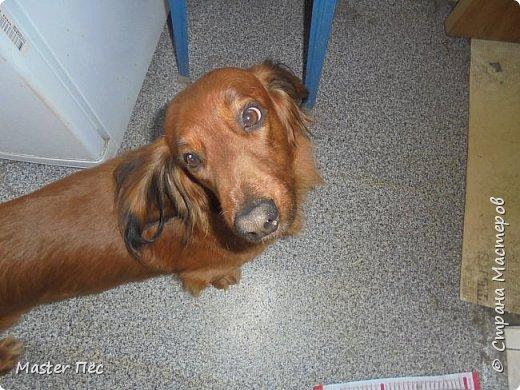 Всем привет! И снова делюсь с Вами фоторепортажем про моих собак Макса и Мишу. За беспорядок в квартире извиняюсь, идёт ремонт. Это Макс. Хочет играть. фото 9