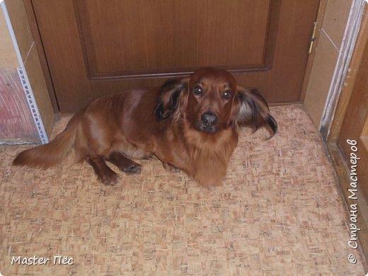 Всем привет! И снова делюсь с Вами фоторепортажем про моих собак Макса и Мишу. За беспорядок в квартире извиняюсь, идёт ремонт. Это Макс. Хочет играть. фото 10