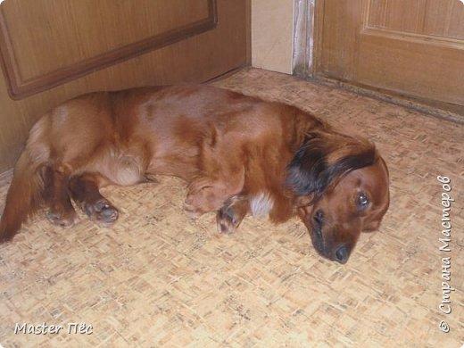 Всем привет! И снова делюсь с Вами фоторепортажем про моих собак Макса и Мишу. За беспорядок в квартире извиняюсь, идёт ремонт. Это Макс. Хочет играть. фото 11
