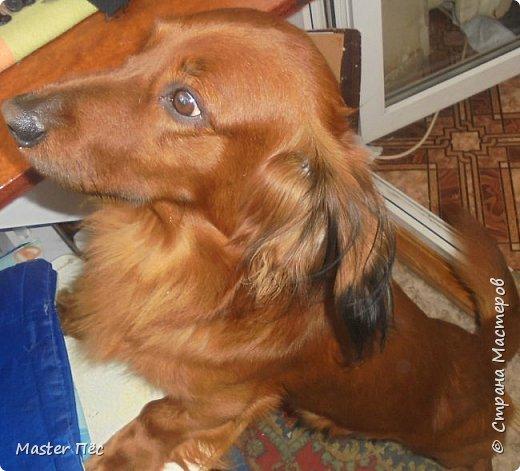 Всем привет! И снова делюсь с Вами фоторепортажем про моих собак Макса и Мишу. За беспорядок в квартире извиняюсь, идёт ремонт. Это Макс. Хочет играть. фото 12