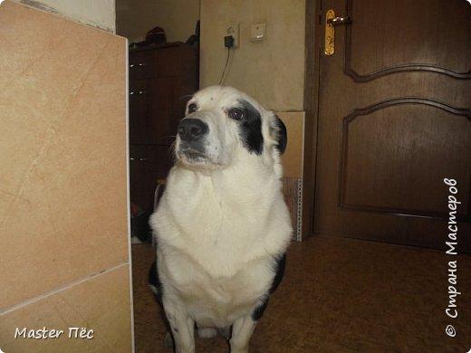 Всем привет! И снова делюсь с Вами фоторепортажем про моих собак Макса и Мишу. За беспорядок в квартире извиняюсь, идёт ремонт. Это Макс. Хочет играть. фото 13