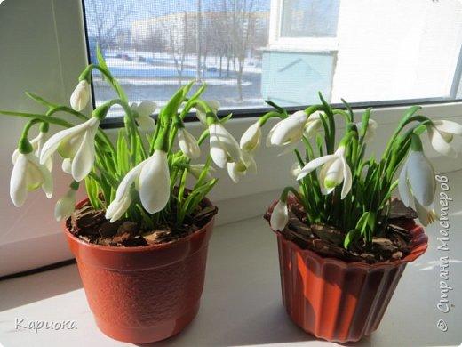 """Здравствуй СМ!! У меня  уже весна, хотя за окном еще  и немного снега! наконец """"посадила"""" свои подснежники и теперь они меня радуют!! Пока сама под впечатлением и весенним настроением - по этому фото много!) Надеюсь не надоем вам! фото 1"""