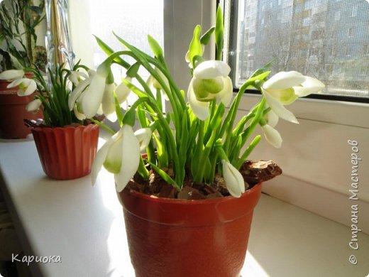 """Здравствуй СМ!! У меня  уже весна, хотя за окном еще  и немного снега! наконец """"посадила"""" свои подснежники и теперь они меня радуют!! Пока сама под впечатлением и весенним настроением - по этому фото много!) Надеюсь не надоем вам! фото 9"""