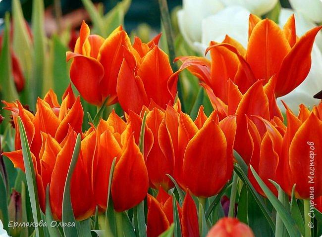 """"""" Репетиция весны""""-так называется выставка цветов, которая открылась в Аптекарском огороде. Более 7000 луковичных были заранее высажены, что бы порадовать всех нас своей красотой на два месяца раньше обычного срока. Любуйтесь.... фото 3"""