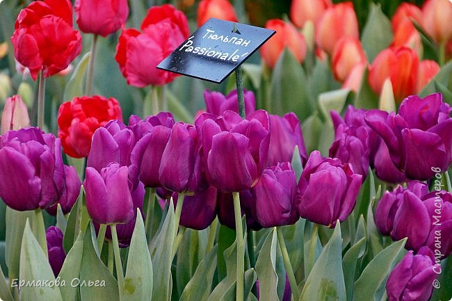 """"""" Репетиция весны""""-так называется выставка цветов, которая открылась в Аптекарском огороде. Более 7000 луковичных были заранее высажены, что бы порадовать всех нас своей красотой на два месяца раньше обычного срока. Любуйтесь.... фото 4"""