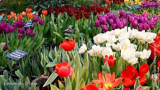 """"""" Репетиция весны""""-так называется выставка цветов, которая открылась в Аптекарском огороде. Более 7000 луковичных были заранее высажены, что бы порадовать всех нас своей красотой на два месяца раньше обычного срока. Любуйтесь.... фото 1"""