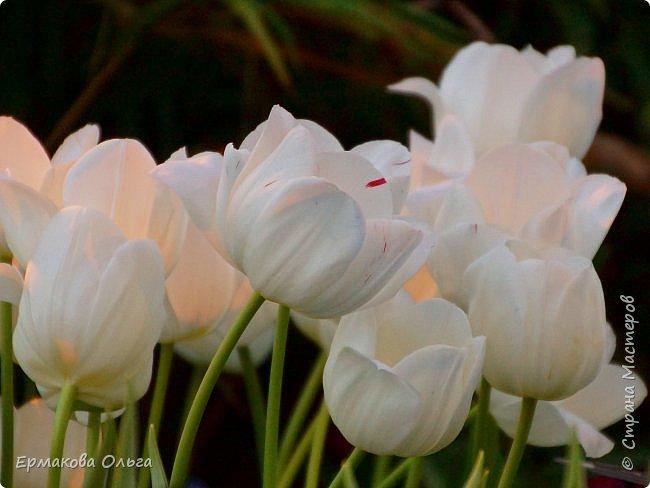 """"""" Репетиция весны""""-так называется выставка цветов, которая открылась в Аптекарском огороде. Более 7000 луковичных были заранее высажены, что бы порадовать всех нас своей красотой на два месяца раньше обычного срока. Любуйтесь.... фото 6"""