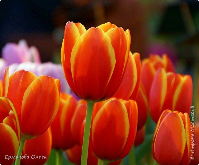 """"""" Репетиция весны""""-так называется выставка цветов, которая открылась в Аптекарском огороде. Более 7000 луковичных были заранее высажены, что бы порадовать всех нас своей красотой на два месяца раньше обычного срока. Любуйтесь.... фото 8"""