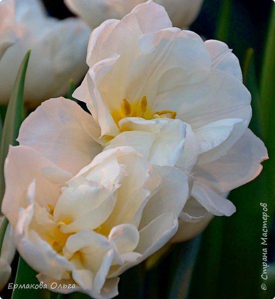 """"""" Репетиция весны""""-так называется выставка цветов, которая открылась в Аптекарском огороде. Более 7000 луковичных были заранее высажены, что бы порадовать всех нас своей красотой на два месяца раньше обычного срока. Любуйтесь.... фото 9"""