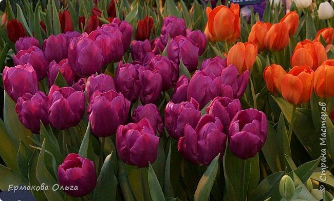 """"""" Репетиция весны""""-так называется выставка цветов, которая открылась в Аптекарском огороде. Более 7000 луковичных были заранее высажены, что бы порадовать всех нас своей красотой на два месяца раньше обычного срока. Любуйтесь.... фото 11"""