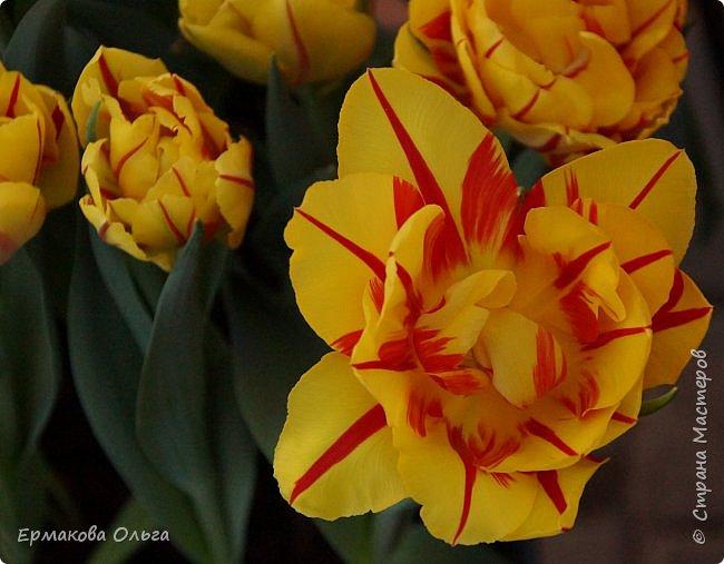 """"""" Репетиция весны""""-так называется выставка цветов, которая открылась в Аптекарском огороде. Более 7000 луковичных были заранее высажены, что бы порадовать всех нас своей красотой на два месяца раньше обычного срока. Любуйтесь.... фото 12"""