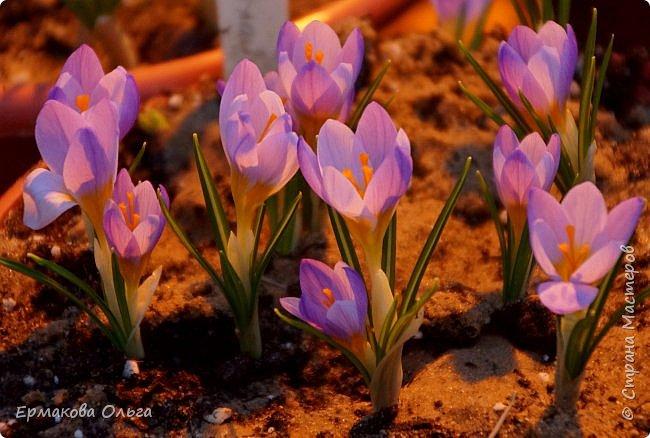 """"""" Репетиция весны""""-так называется выставка цветов, которая открылась в Аптекарском огороде. Более 7000 луковичных были заранее высажены, что бы порадовать всех нас своей красотой на два месяца раньше обычного срока. Любуйтесь.... фото 13"""