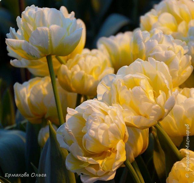 """"""" Репетиция весны""""-так называется выставка цветов, которая открылась в Аптекарском огороде. Более 7000 луковичных были заранее высажены, что бы порадовать всех нас своей красотой на два месяца раньше обычного срока. Любуйтесь.... фото 16"""