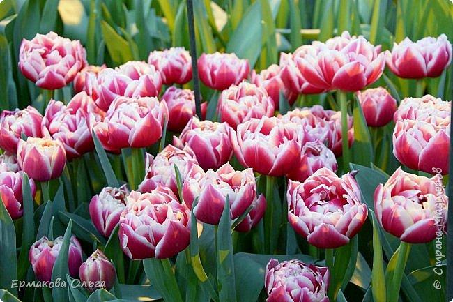 """"""" Репетиция весны""""-так называется выставка цветов, которая открылась в Аптекарском огороде. Более 7000 луковичных были заранее высажены, что бы порадовать всех нас своей красотой на два месяца раньше обычного срока. Любуйтесь.... фото 17"""