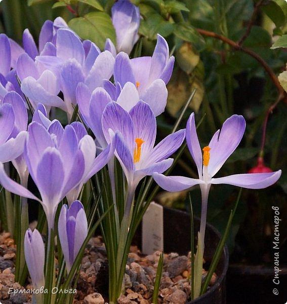 """"""" Репетиция весны""""-так называется выставка цветов, которая открылась в Аптекарском огороде. Более 7000 луковичных были заранее высажены, что бы порадовать всех нас своей красотой на два месяца раньше обычного срока. Любуйтесь.... фото 18"""
