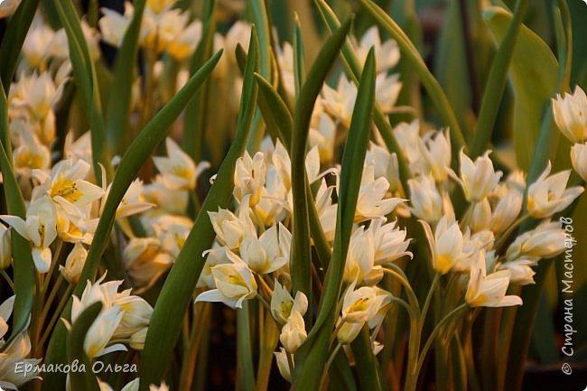 """"""" Репетиция весны""""-так называется выставка цветов, которая открылась в Аптекарском огороде. Более 7000 луковичных были заранее высажены, что бы порадовать всех нас своей красотой на два месяца раньше обычного срока. Любуйтесь.... фото 21"""