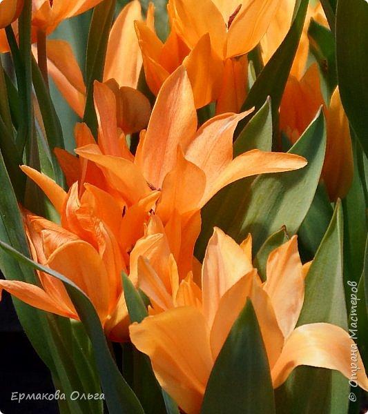 """"""" Репетиция весны""""-так называется выставка цветов, которая открылась в Аптекарском огороде. Более 7000 луковичных были заранее высажены, что бы порадовать всех нас своей красотой на два месяца раньше обычного срока. Любуйтесь.... фото 19"""
