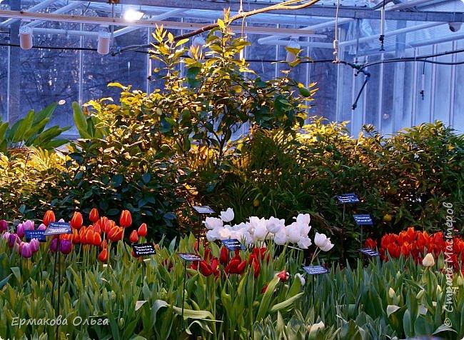 """"""" Репетиция весны""""-так называется выставка цветов, которая открылась в Аптекарском огороде. Более 7000 луковичных были заранее высажены, что бы порадовать всех нас своей красотой на два месяца раньше обычного срока. Любуйтесь.... фото 25"""